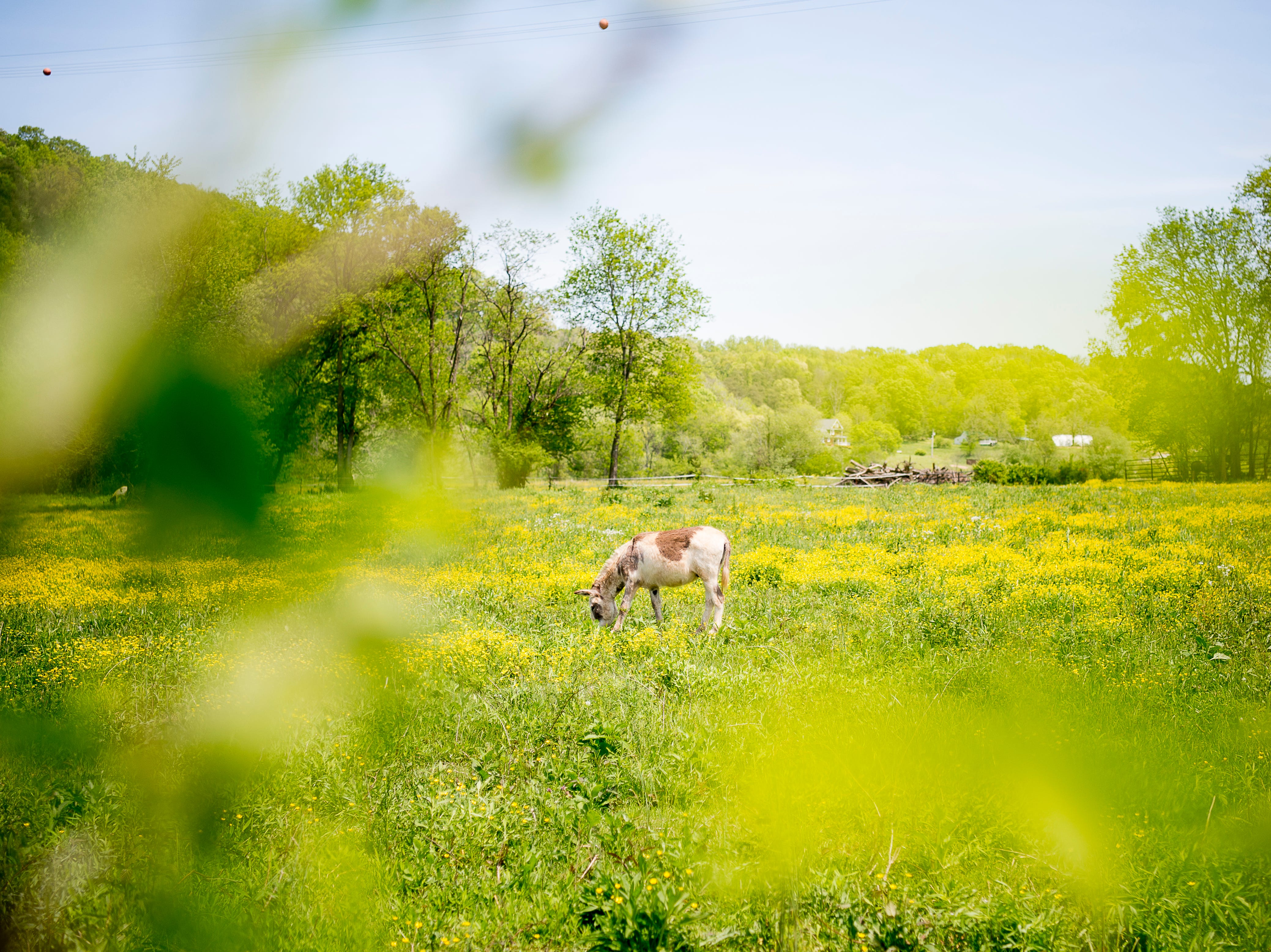 A horse grazes in a flowering field near River Plantation Farms in Sevierville, Tennessee on Wednesday, April 24, 2019.