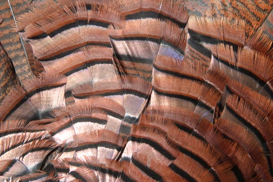 Copper tones on feathers near the base of the tail of a wild turkey show the richness of colors on the birds feathers.