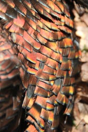 Sunlight reveals the iridescence of wild turkey feathers.