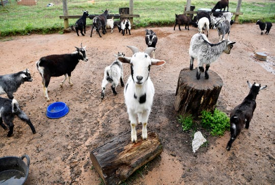 Mini goats on Karlen Evins greet visitors with a curious look Friday, April 19, 2019, in Lebanon, Tenn.