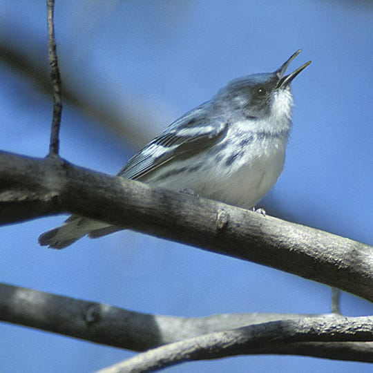 If you're really lucky, you might see a Cerulean Warbler in North Jersey this time of year.