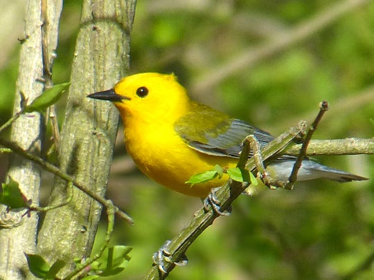 This rare (for North Jersey) Prothonotary Warbler made an appearance in Allendale one year ago.