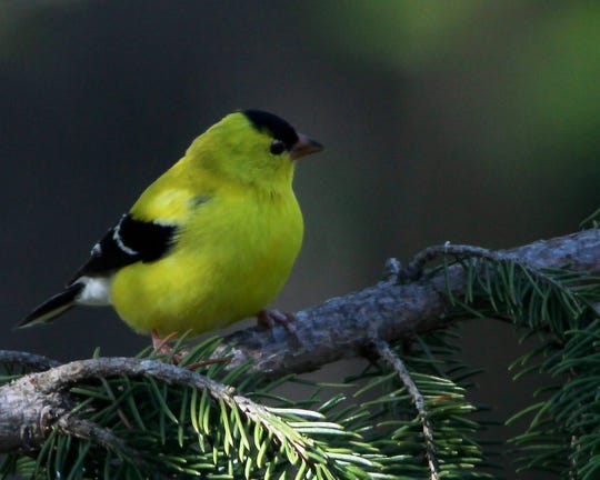 The American Goldfinch is New Jersey's state bird.