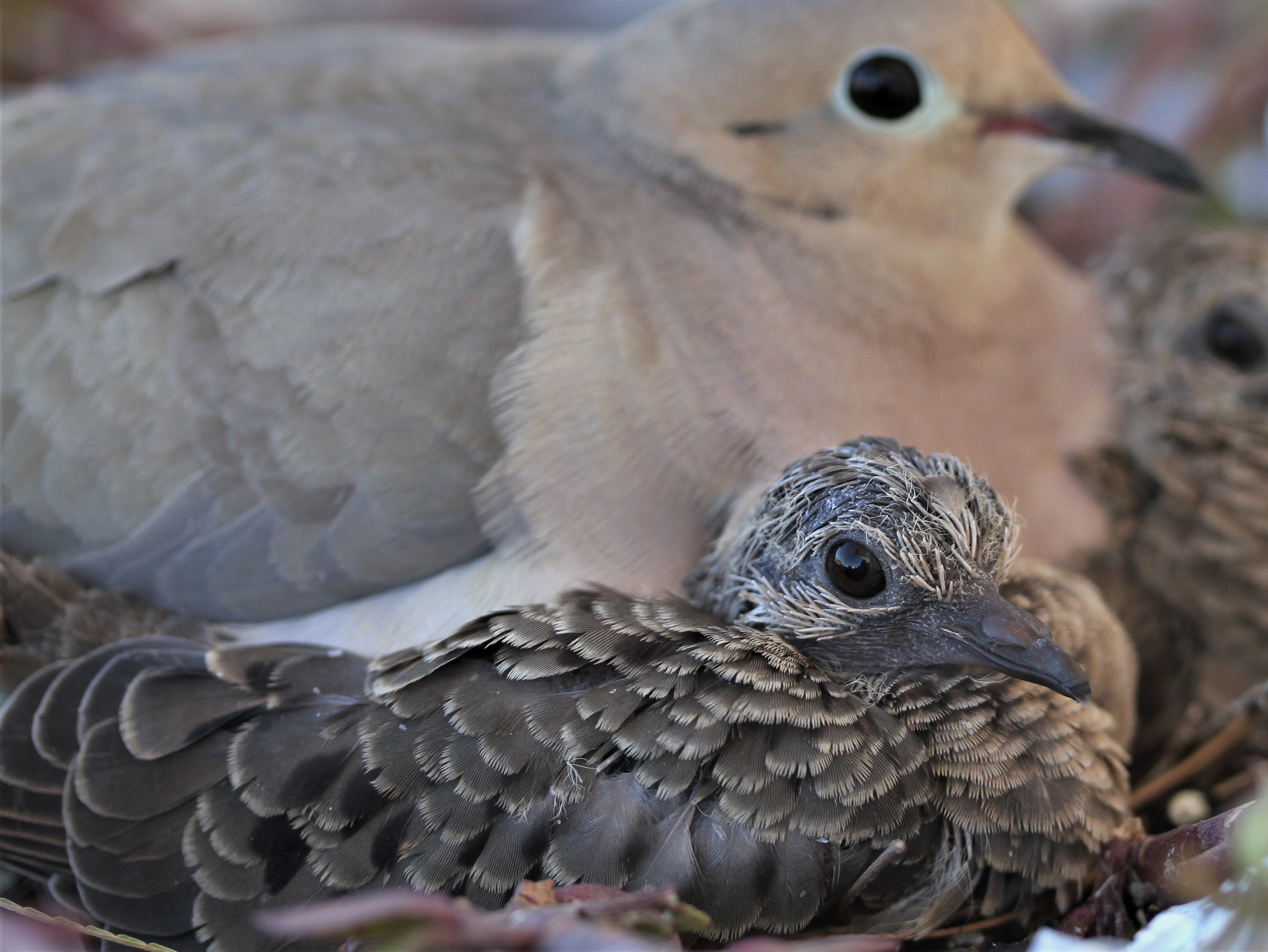 Baby doves have grown so fast in a week from Gold Canyon.