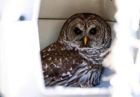 An owl in a cage before being released back into the wild at the Joe Creighton Access on Friday, April 26, 2019. The owl was rescued on April 11th after being snared by fishing line tangled in a tree.