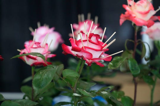 Q-tips weigh down rose petals to open the bloom. Professional and novice rose growers prep their most beautiful blooms to show off at the Thomasville Rose Show and Festival Friday, April 26, 2019.
