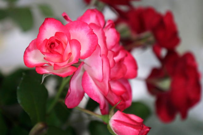 Esposito's is presenting a virtual seminar on bare-root roses. Shown here, are roses from the Thomasville Rose Show in 2019.