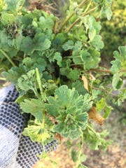 Henbit is a fast-spreading spring and early summer broadleaf that easily reseeds each year if not properly dealt with. Henbit is not difficult to eradicate with 2,4-D but timing is important. The time to treat Henbit (and similar broadleafs like thistle also shown in photo) is in the fall.