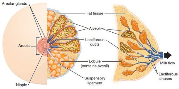Milk ducts are encased behind tissue and fat and are not part of the muscular system.