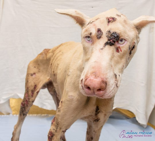 The Animal Friends Humane Society shared this photo on its Facebook page April 23 of Lucifer (Lou), whom they received with open sores on his skeletal frame.