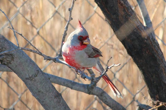 Pyrrhuloxia  is a species of cardinal native to Texas that, while less colorful than its more-memorable cousin, is no less interesting.