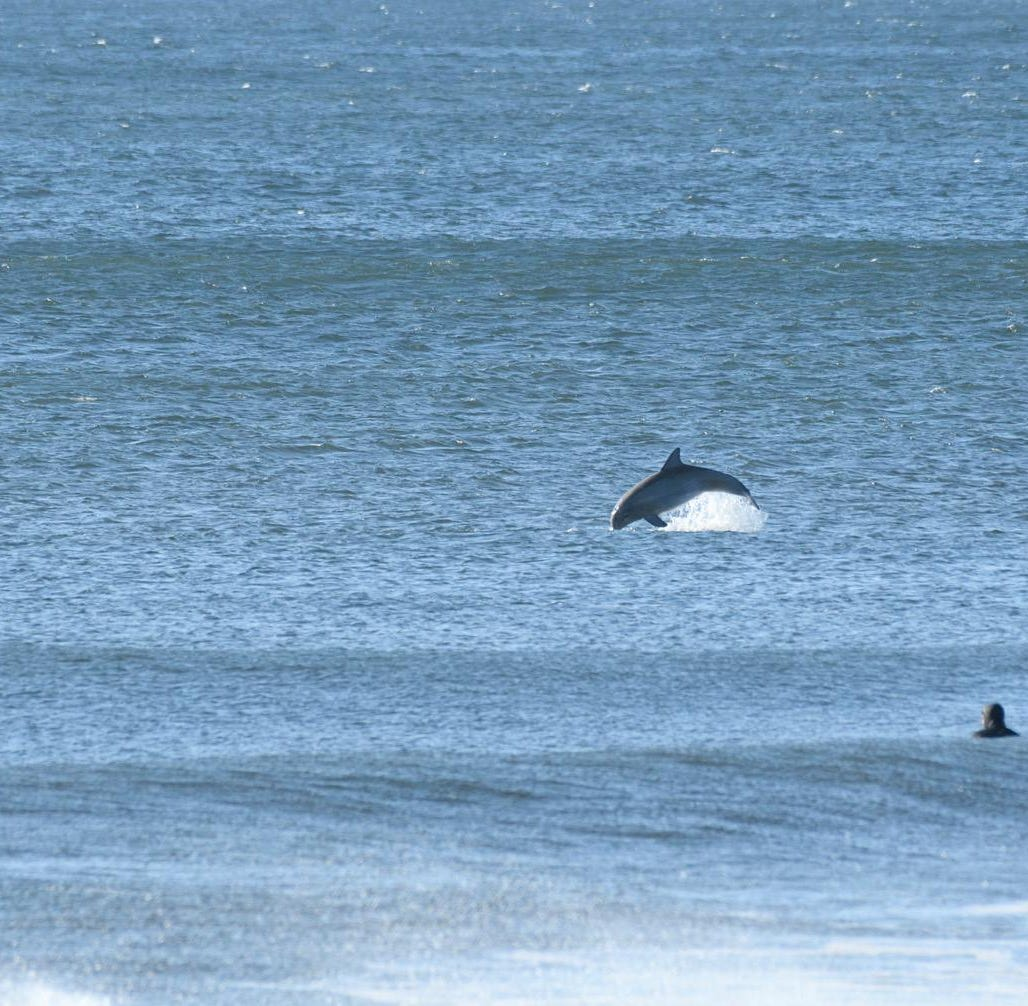 Dolphins swim with surfers off Belmar beach