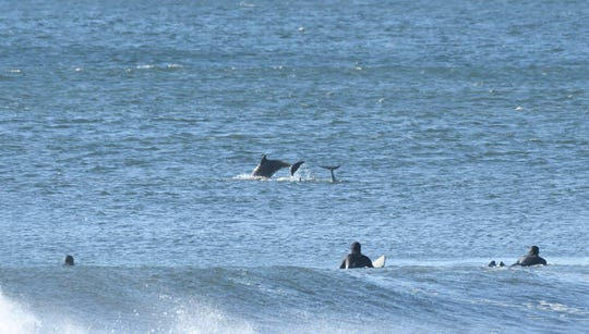 A pod of dolphins swam with surfers off Belmar on Saturday, April 27, 2019.
