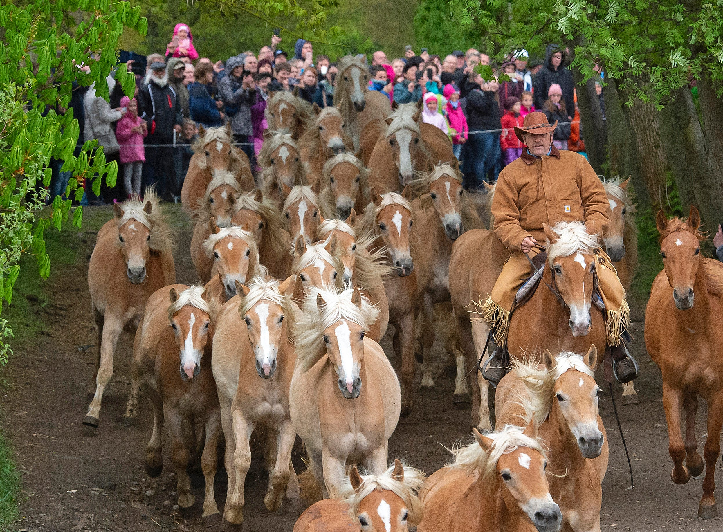 Uwe Ott leads the Haflinger horses during this year's first turnout to grass at Europe's largest Haflinger stud-farm in Meura, Germany, Sunday, April 28, 2019. More than 300 Haflinger horses, bred for use in mountainous terrain, are living there.