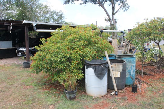 The Rosario family, which is limited to 275 gallons of water a week, hauled in by truck, does not want to use the water on their plants, so they fill rain barrels with water collected on the roof of the shack they use as their kitchen.