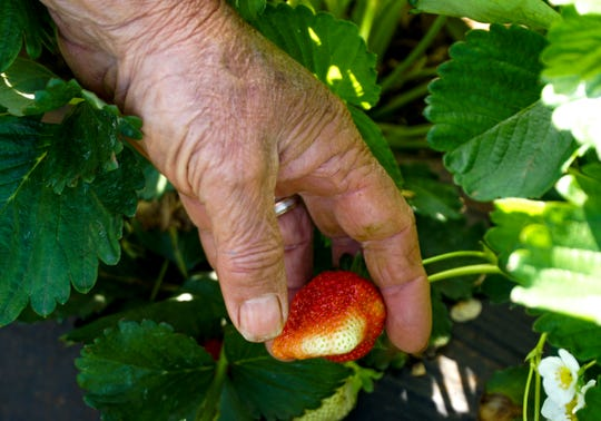 Steve Rutherford points out an unripe strawberry, just a day short of ripening, at his farm in Blount County.