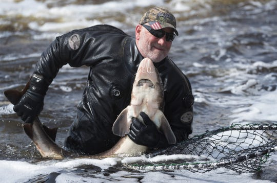 Department of Natural Resources employee Donnie Herman wrangles a sturgeon into a net Sunday on the Wolf River beneath the dam in Shawano.