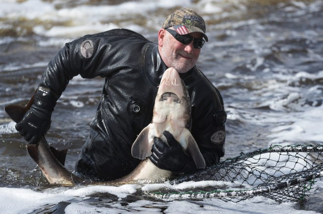 Department of Natural Resources employee Donnie Herman wrangles a sturgeon into a net last spring in Shawano.