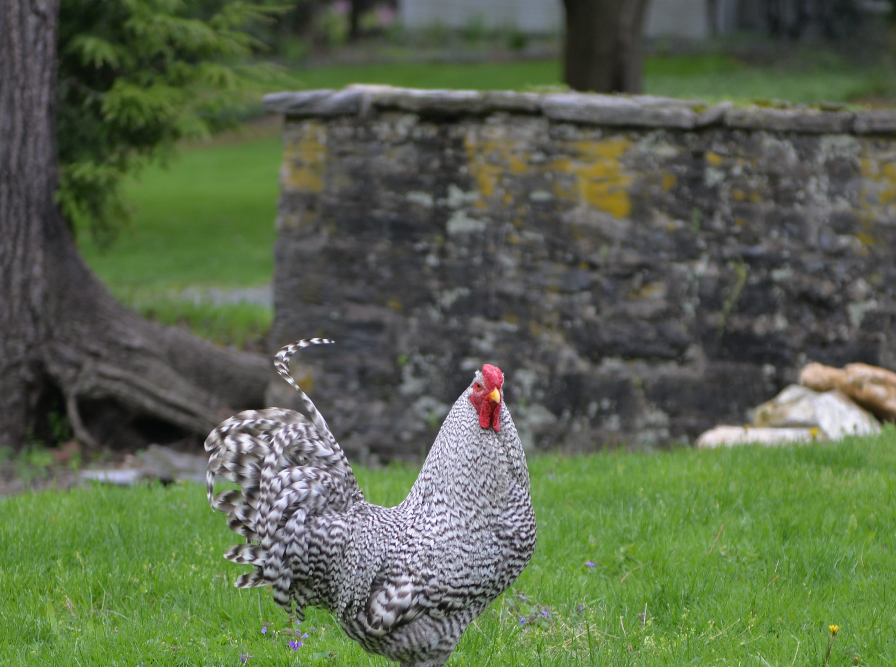 A Dominique Rooster casts a watchful eyes on visitors to Making Sense of History a special living history program held at The Conrad Weiser Homestead at Womelsdorf, Pa on Sunday, April 28, 2019.