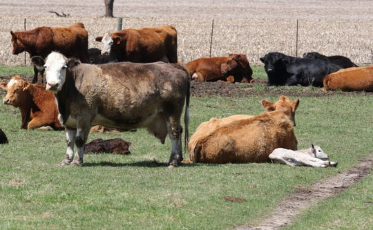 "To help keep cattle healthy as they enter a feedlot, producers often feed less, or ""limit-feed,"" for a short time to allow the animal to adjust to the feedlot diet."