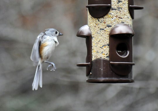 A tufted titmouse comes in for a landing at Bill Sanders' backyard bird feeder.