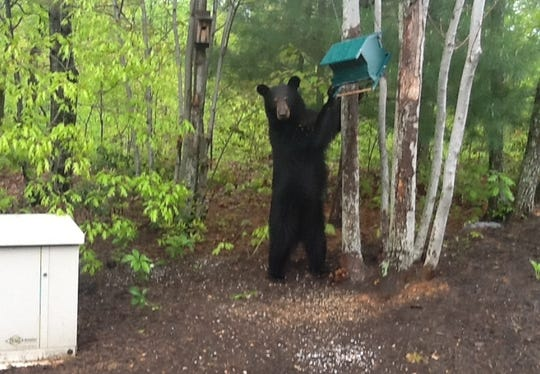A bear is caught in the act getting seeds from a bird feeder at a home near Black Mountain.