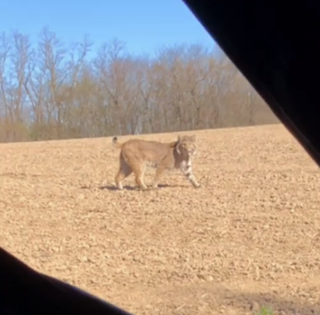 Hunter has close encounter with bobcat in southern Iowa