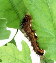Gypsy moth larvae can cause extensive deforestation as they eat leaves.