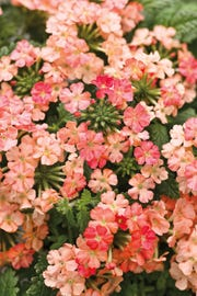 Verbena flowers are one of the many perennials a gardener can plant.