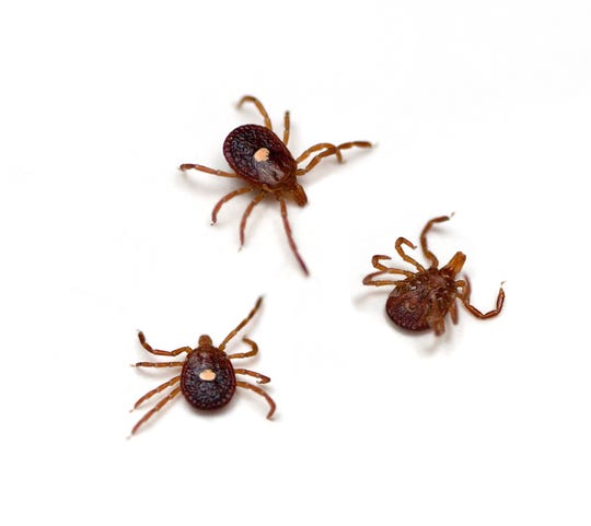 Ticks in Virginia: What they look like, types, diseases they