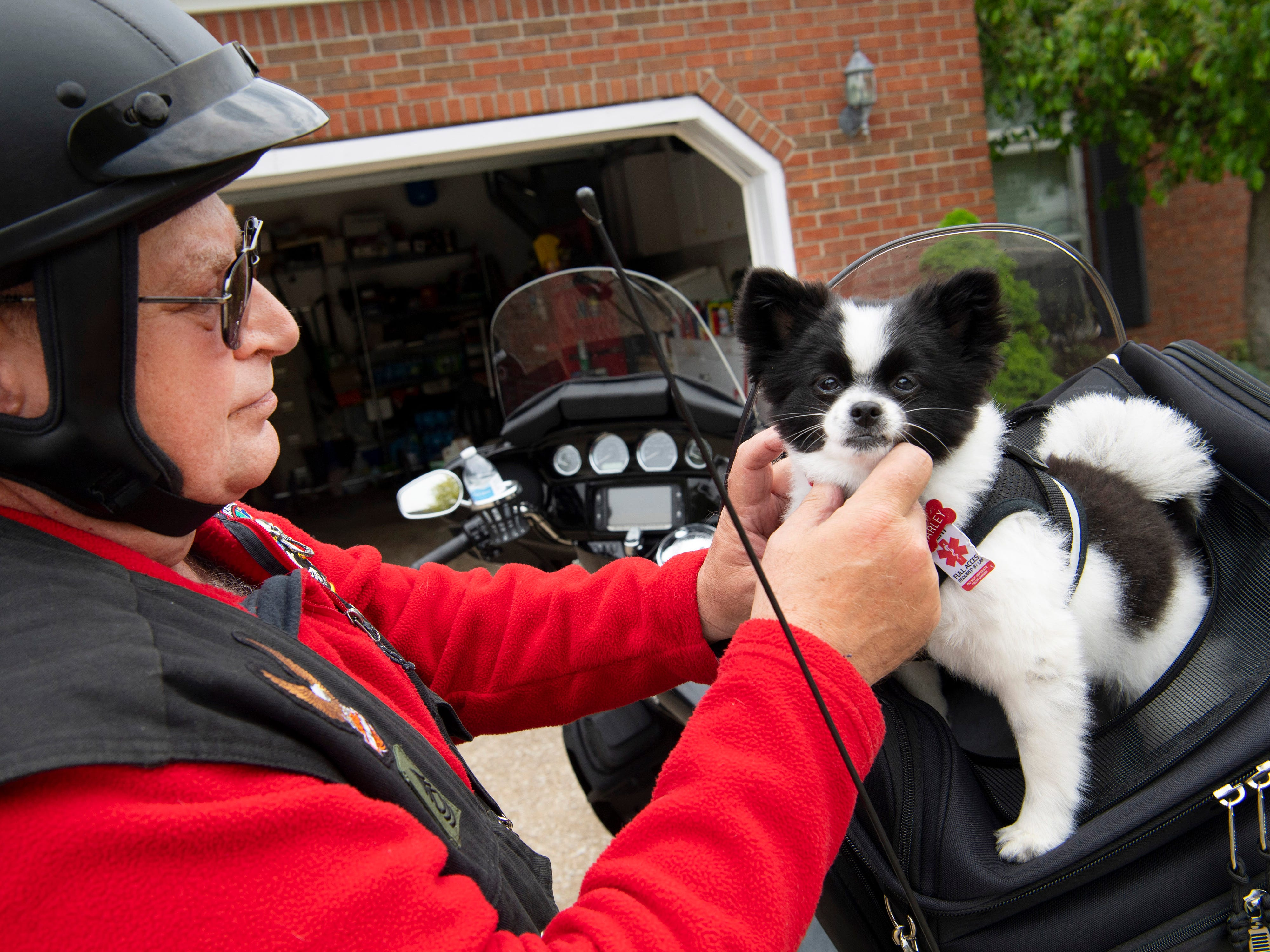 """Harley, a 6-month-old Pomeranian service dog-in-training, is unhooked by owner Charles Beach, a U.S. Army veteran and Harley-Davidson enthusiast, after a morning ride north of Evansville Monday morning. """"She wants to ride all the time,"""" Beach said. """"Every time I come out here, she jumps beside the motorcycle and stands there.""""  The pup didn't start out sitting on the back of Beach's Harley-Davidson Electra Glide Ultra Classic motorcycle. In the beginning, Harley Girl was zipped up safely inside the carrier. Now, after the addition of her own windshield, the close-shorn Pomeranian sits up tall on their rides.  """"Me and Harley, we go just about everywhere,"""" Beach said. """"I don't go anywhere without her. She has four more months and then she'll be out of training and be a full-service dog. We'll go on some big rides then."""""""