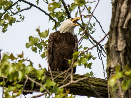 This bald eagle almost seemed to be posing for birding enthusiasts, who got an early start at Magee Marsh on Wednesday prior to the kickoff of the 2018 Biggest Week in American Birding. The annual event starts Friday and runs through May 12.