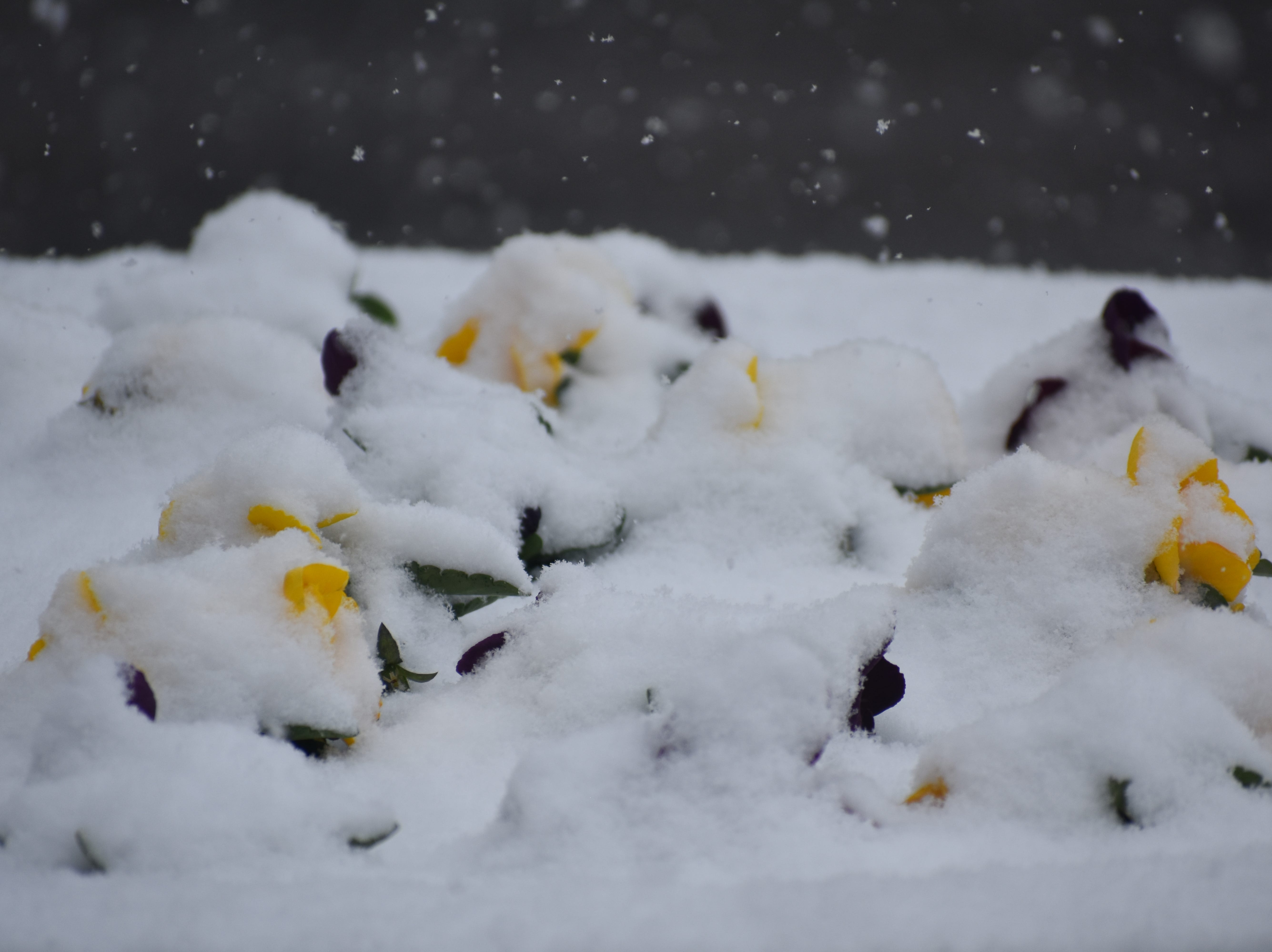 Pansies are buried under snow in this Old Town planter during Monday's snowstorm.