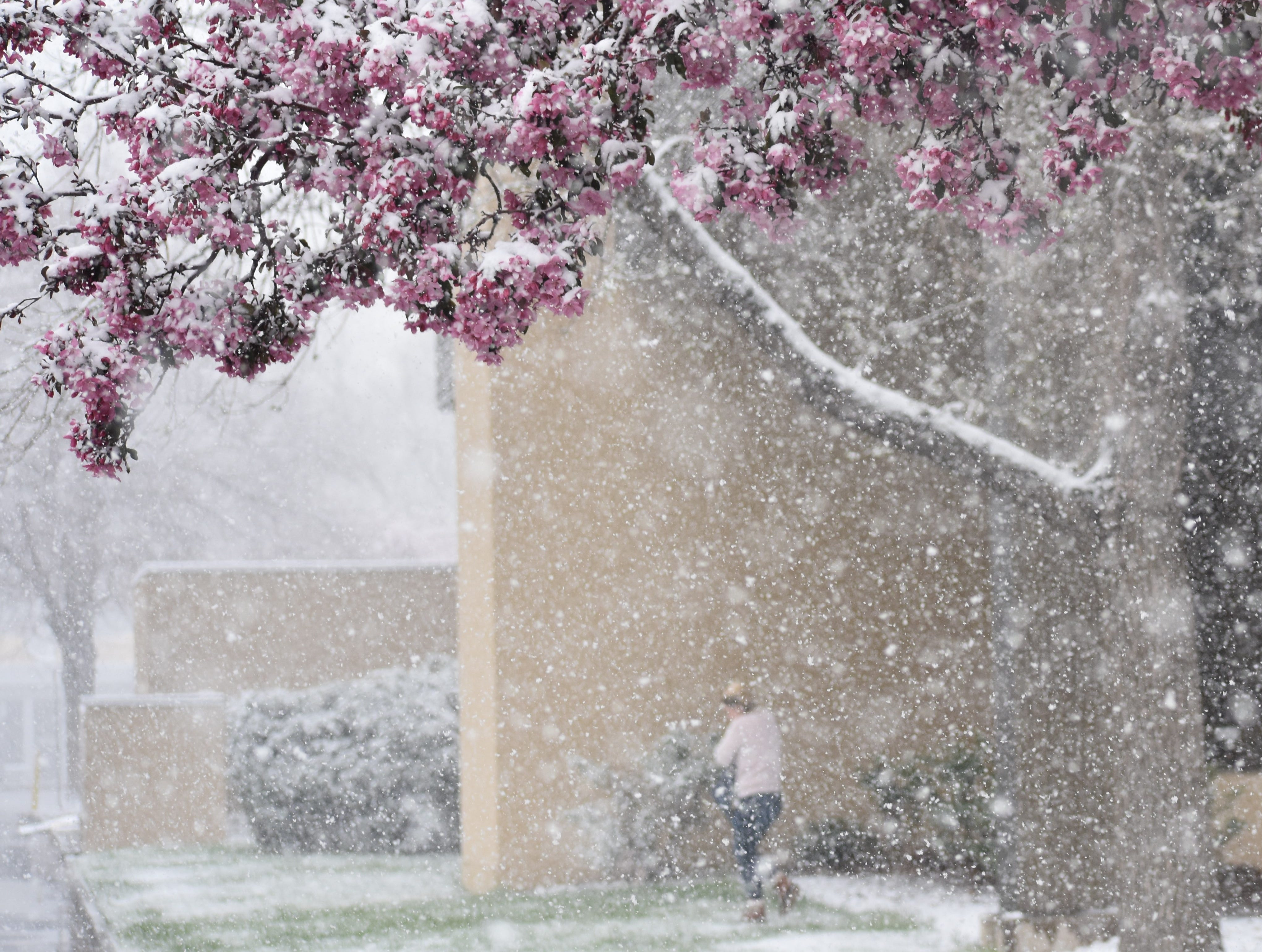 Snow falls from a crabapple tree during Monday's snowstorm in Fort Collins.