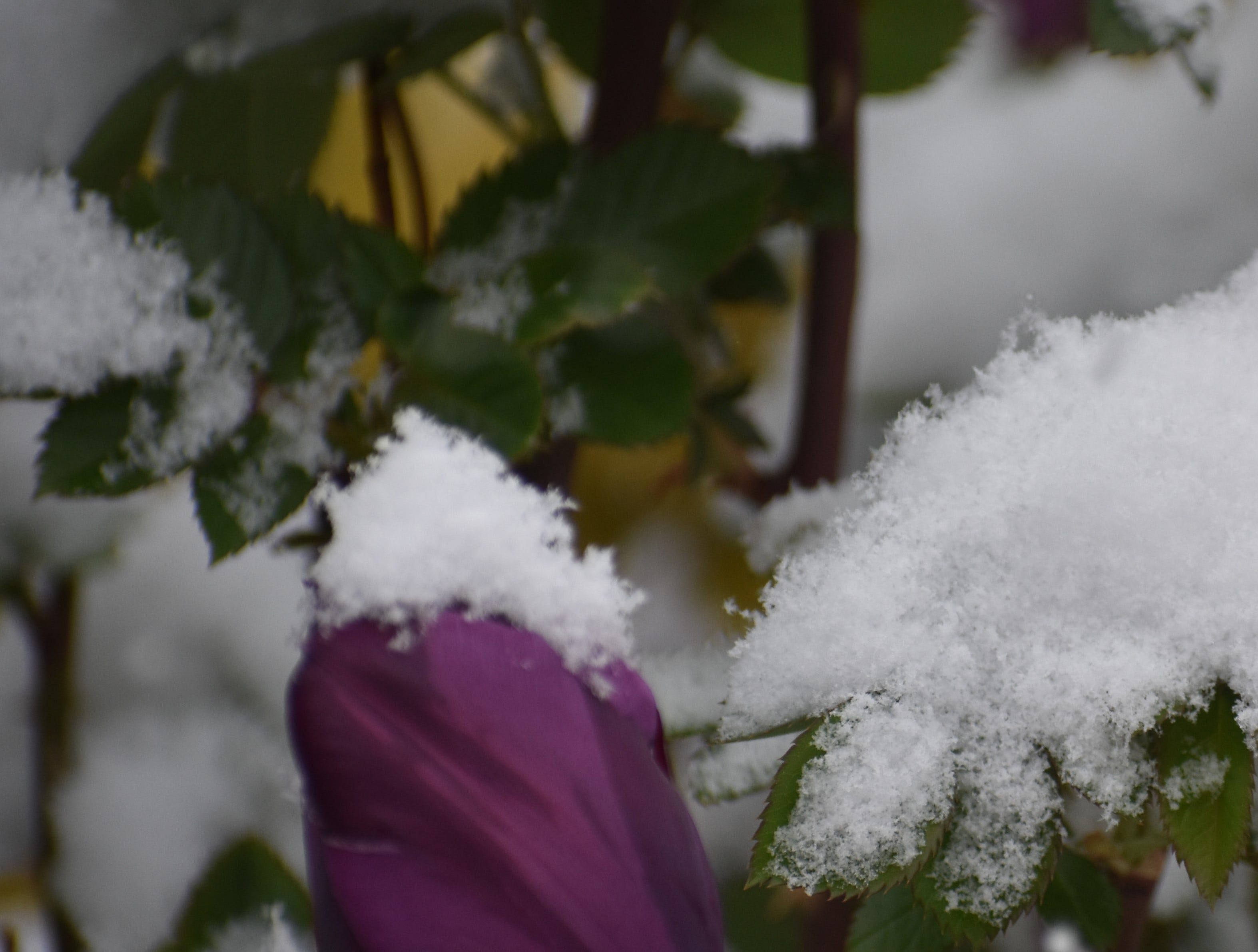A snow-capped tulip during Monday's snowstorm in Fort Collins.
