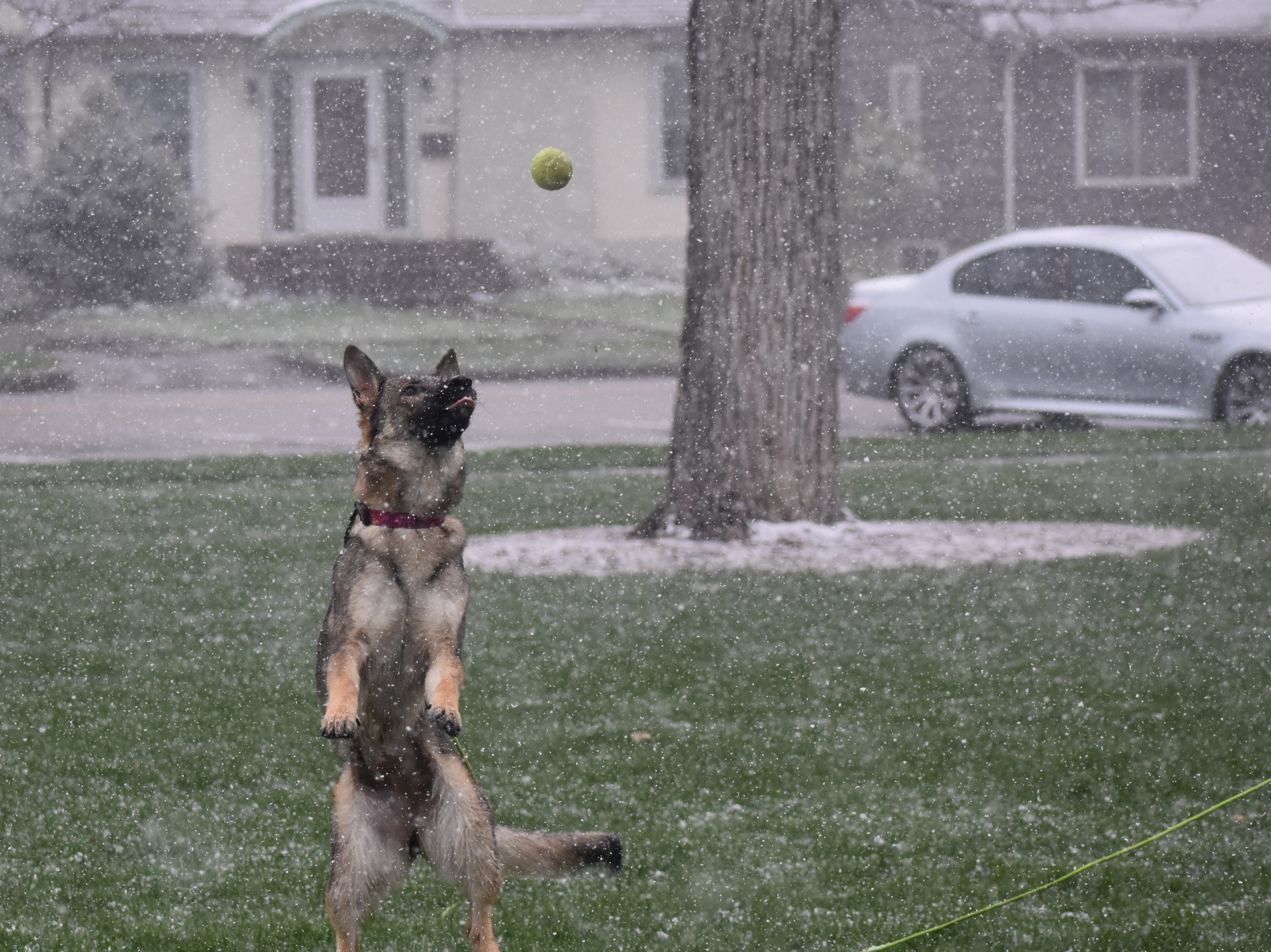 Margot the German shepherd jumps for her ball at City Park during Monday's snowstorm.