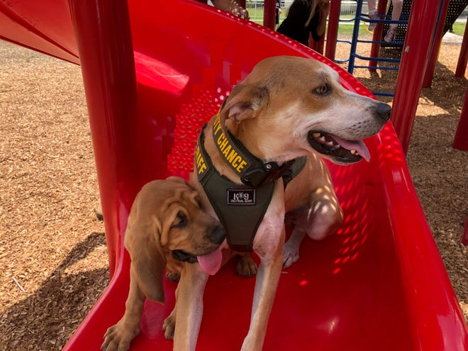 """An 8-month-old bloodhound, left, has joined the ranks of the Lee County Sheriff's Office courtesy of the Jimmy Ryce Center. At right is """"Deputy Chance,"""" a member of the Sheriff's Office Deputy Dogs program."""