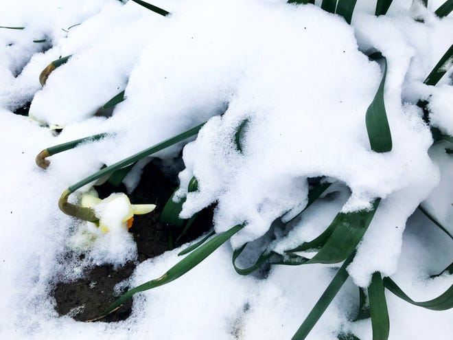 Late-April snow felled flowers in Great Falls and across northcentral Montana.