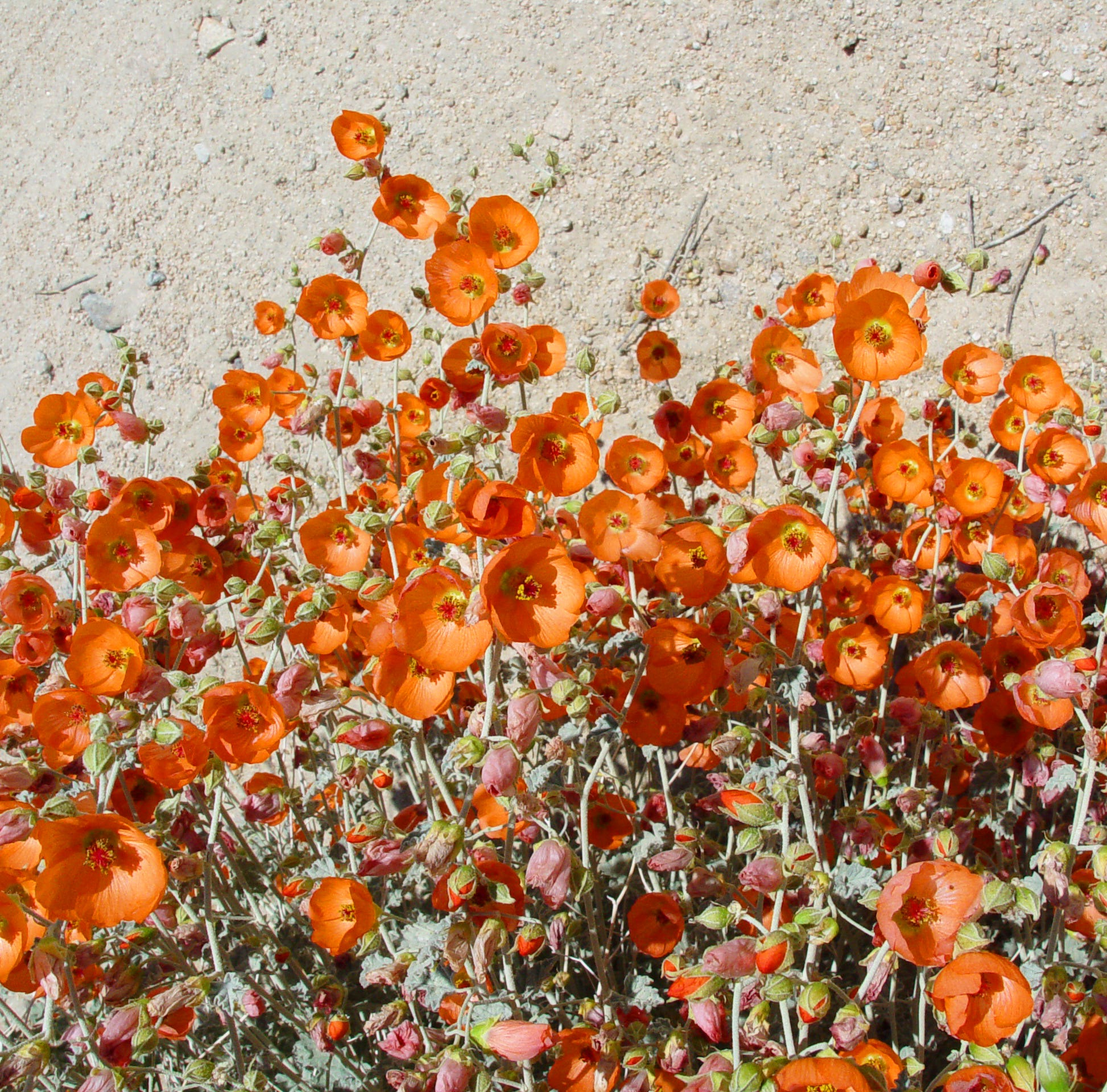 A pleasant surprise: Winter rain leads to spectacular display of the globemallow