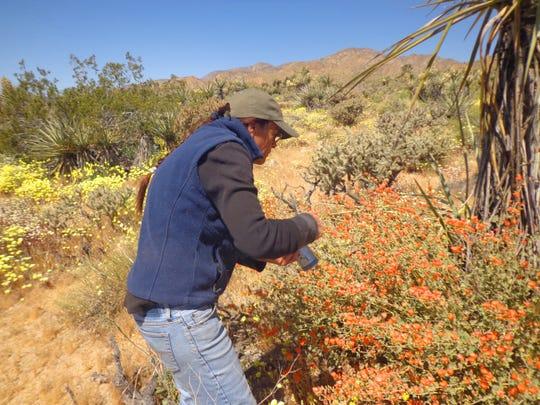 Gardening columnist Maureen Gilmer looks at globemallows in the desert.
