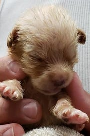 One of the six remaining puppies abandoned in mid-April. All six have opened their eyes, their caregiver told county officials. Monday, the caregiver released photos of the puppies.
