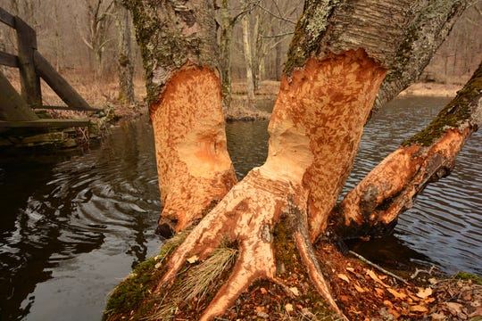 Telltale signs of ambitious beavers can be seen along the trail around Alder Lake.
