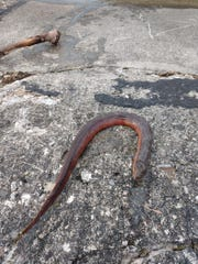 An Asian swamp eel found dead in Hemlock Lake on April 16