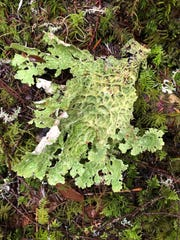 Lungwort lichen seen along the Old Salmon River Trail.