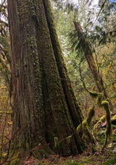 Old growth western red cedar seen along the Old Salmon River Trail