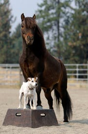 Dally is a Jack Russell Terrier and Spanky, a miniature horse, is her best friend.