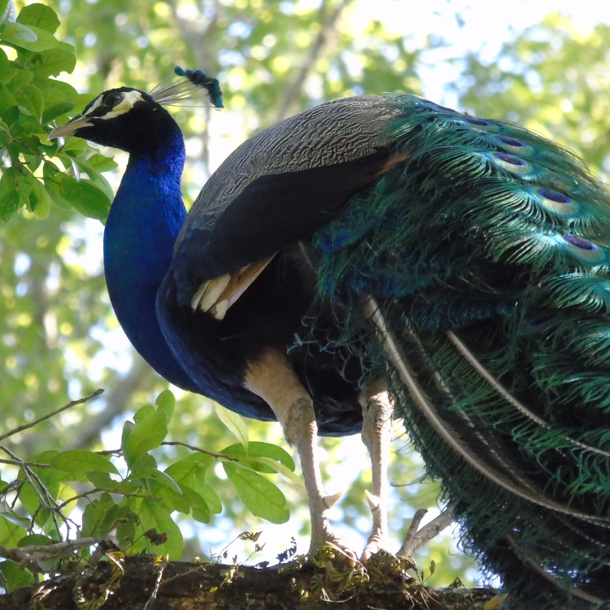 One peacock lounges in Centerville trees, another found dead on Interstate 10 westbound