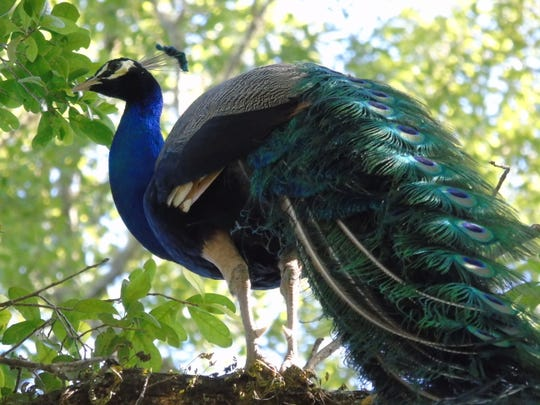 A pair of peacocks have been roaming around the Centerville Road area. This one landed in Dante Peluso's yard.