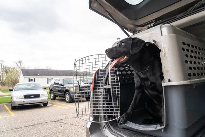 Valley, a 10-month labrador, sits for a photo in his crate after demonstrating how she trains to sniff for bombs in a bank building at the CREST Training Center on the campus of OCC in Auburn Hills on Friday, April 26, 2019