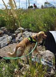 Kenna is one of the dogs on the Environmental Canine Services team. This summer, she and her handler will conduct a test on a private lake in Hillsdale County that has a recurring algal bloom problem.